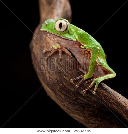tree frog with big eyes on branch of a tropical tree in amazon rainforest. Macro of beautiful night animal in rain forest jungle of south america.