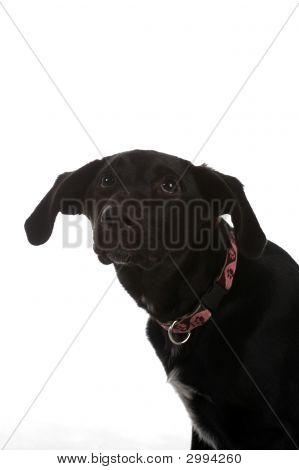 Cowering Black Dog