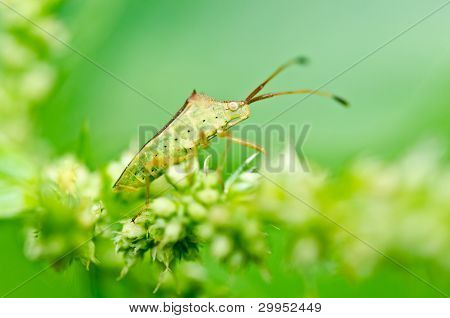 Hemiptera In Green Nature