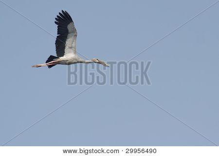 Asian Open-bill Stork in flight
