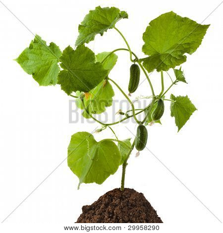 cucumber plant isolated on white