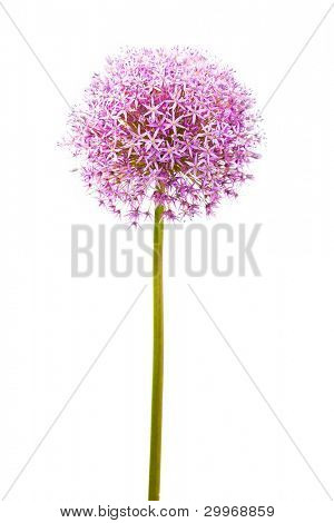 Purple alium onion flower isolated on white