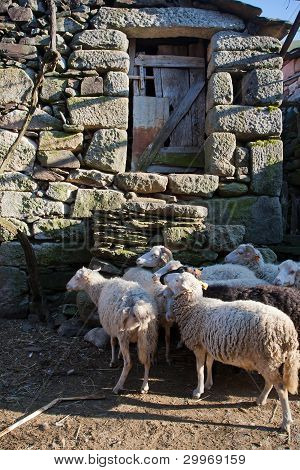 Rural Scene - Heard Of Sheep