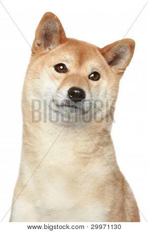 Shiba Inu Hund Porträt