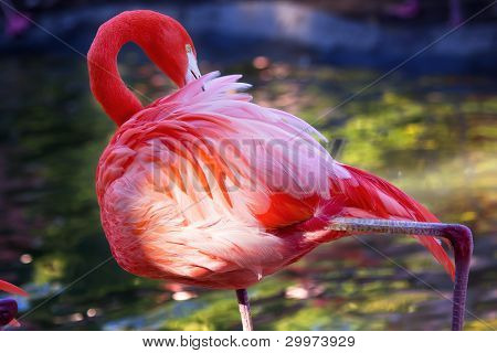 Pink Orange Caribbean Flamingo Feathers