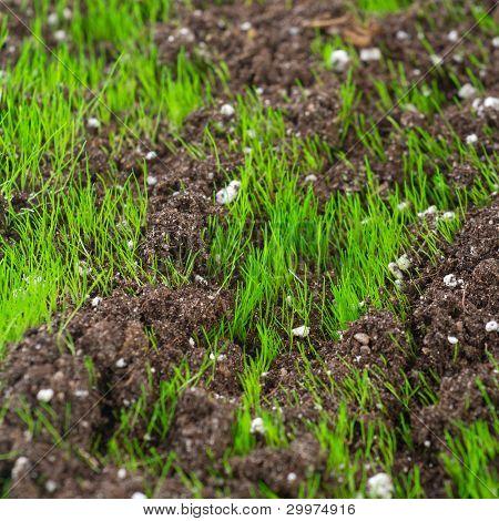 Nahaufnahme des jungen frischen grünen Gras in der Erde