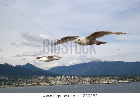 Vancouver Seabirds