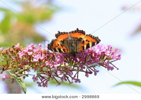 Butterfly (Aglais Urticae) On Lilac