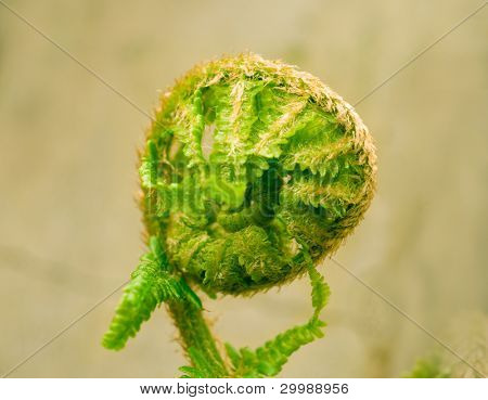 Close up of uncurling fern leaf