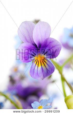 viola close up