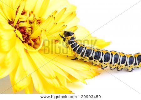 Macro butterfly larva with yellow flower isolated on white background