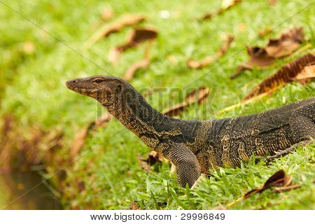 Closeup of monitor lizard - Varanus on green grass (Varanidae)
