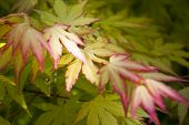 A Branch Of Japanese Maple. Multicolored Maple Leaves. Close-up. Spring Foliage, Floral Background. poster