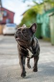 Close Up Canine Portrait Of Gray French Bulldog Shout Outdoor poster