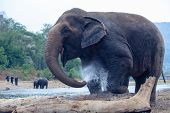Elephant Spraying Water With Trunk ,elephant Taking A Shower,elephants Are Enjoying The Water. poster