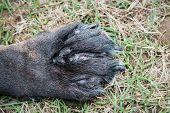Close Up Of A Swollen Canine Paw With Open Wounds As A Result Of A Severe Infection Caused By Enviro poster