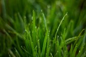 Dew Drops On The Grass. Morning Grass Nature. Green Young Grass poster