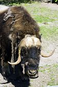 stock photo of open grazing area  - The bison during a moult on open air - JPG