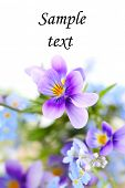 pansies on white isolated background.border. Floral border.