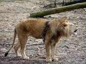 Lion Barking poster