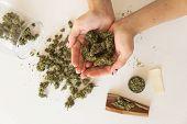 Woman Preparing Marijuana Cannabis. Woman And Cannabist In Hand White Background. Close Up Of Mariju poster