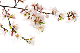 stock photo of cherry blossoms  - Branch with pink cherry blossoms isolated on white background - JPG