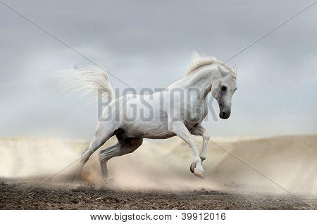 Arabische paard