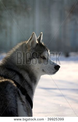 Husky In Winter