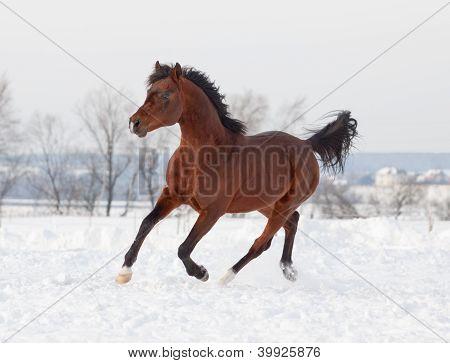 Arab Stallion In Snow