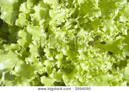 Fresh Fancy Lettuce