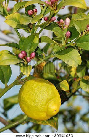 Ripe Lemon With Lemon Blossoms