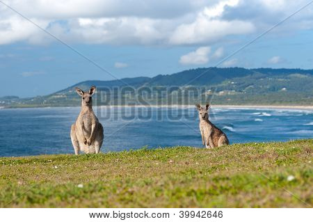 Känguruhs - Australien