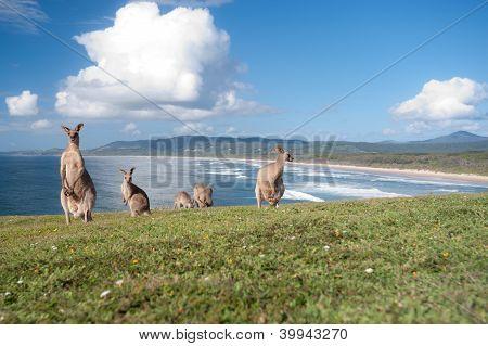 Kängurus Australien
