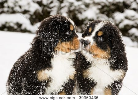Bernese Mountain Dog Puppets Sniff Each Others