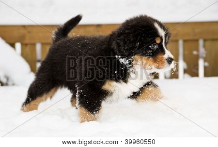 Bernese Mountain Dog Puppet Run Through Snow