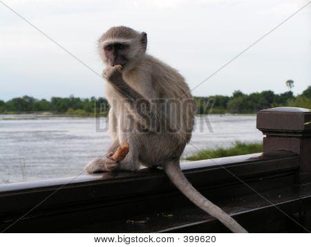 Monkey, Zambezi River