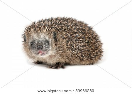 Hedgehog Shouting At The Viewer