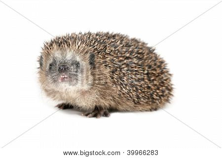 Hedgehog Sniffing Around