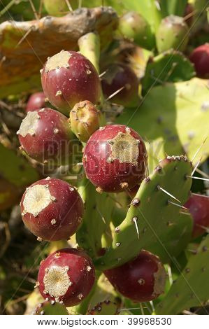 Opuntia Cactus (prickly Pear) With Ripe Fruits