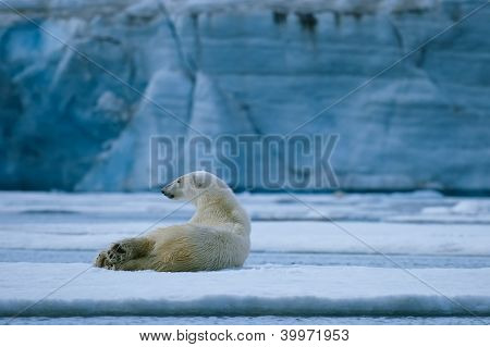 Polar Bear Rest