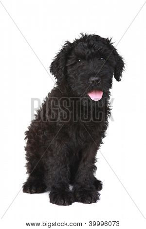 Black Russian Terrier Puppy Dog on White Background