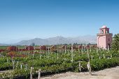 picture of ica  - This image shows a vineyard in Ica Peru - JPG