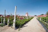 stock photo of ica  - This image shows a vineyard in Ica Peru - JPG