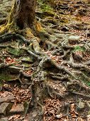 image of land-mass  - Mass root system of a tree - JPG