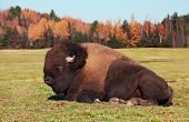 Bison also known as an American  Buffalo Lying Down poster