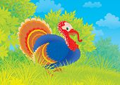 picture of turkey-cock  - Colorful turkey cock walking on green grass - JPG