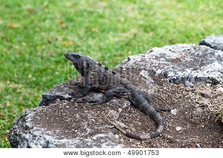 Iguana On Mayan Ruins
