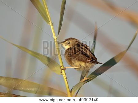 Zitting Cisticola (Cisticola junncidis) clinging on a cane