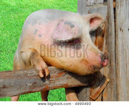 Pig In Pigpen