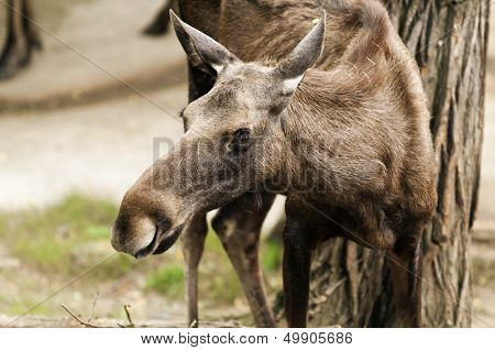 The Moose (north America) Or Eurasian Elk (europe)